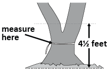 illustation showing a tree with a double stem and where to measure.