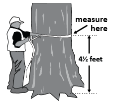 Person measuring tree with tape measure.