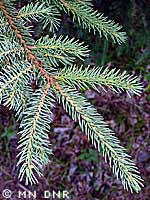 Black spruce needles photograph; MN DNR, Rick Klevorn
