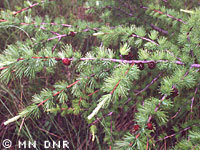 Tamarack needles photograph; ? MN DNR, M. D. Lee