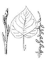 Balsam poplar photograph; ? MN DNR