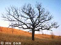 Bur oak tree on a grassy slope.