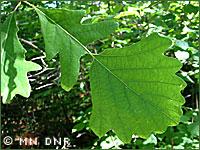 Bur oak photograph; MN DNR
