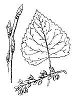 Cottonwood photograph; ? MN DNR