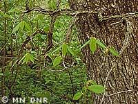 Rock elm photograph; ? MN DNR, M. D. Lee