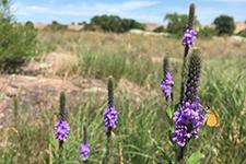 purple flowers in a prairie