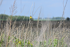 small yellow bird on dry prairie grasses