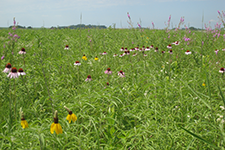 A high-diversity forb mix was used to benefit a variety of wildlife including pollinators, pheasants, and grassland birds on this MN DNR prairie reconstruction near Lamberton, Minnesota.