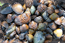 Native mussels displayed on the shoreline as part of the Statewide Mussel Survey where DNR scientists are gathering information to guide mussel conservation efforts.