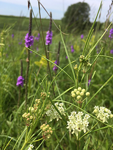 Whorled milkweed framed by hoary vervain and goldenrod in the background of a DNR-wildlife prairie reconstruction near Marshall, MN