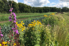 Flowering insectary strip providing pollen and nectar to support local pollinators and beneficial predators, which in turn plays a role in crop production at the Sogn Valley Farm in Cannon Falls, Minnesota.