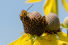 Long-horned bee on yellow coneflower in a prairie reconstruction at the 2019 Pollinator and Restoration Field Day Photo used with permission from Diane Larson