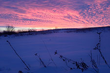 Prairie wildflowers and grasses lodged with snow as the sun rises over a prairie reconstruction in southern Minnesota.