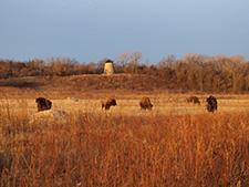 Bison (Tataŋḳaḣca) roam freely across the prairie land (Tiåta Makoce) at Minneopa State Park.