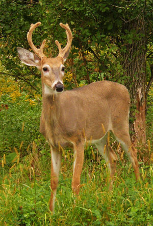 white tailed deer buck in velvet