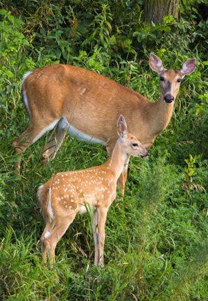 white tailed deer doe and fawn