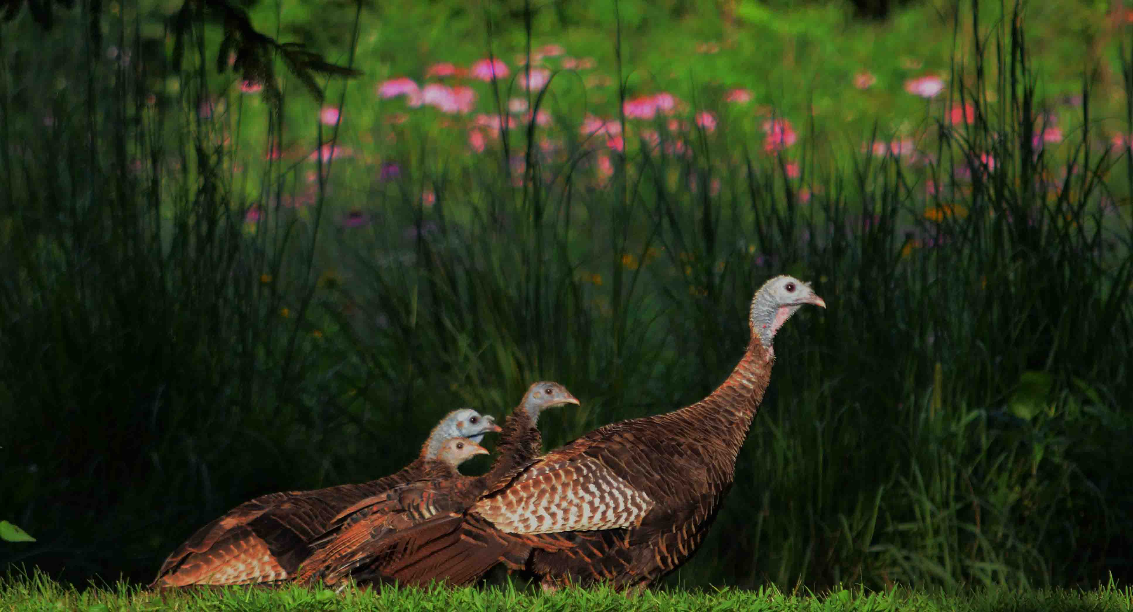 turkey adult and juveniles in prairie