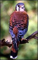photo of the American Kestrel