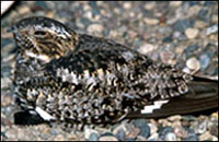 photo of common nighthawk