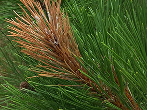 red pine with moth shoot