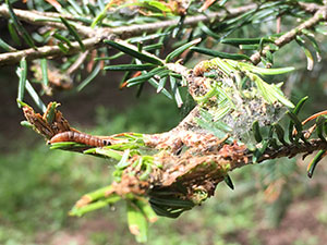 spruce budworm web on spruce tree