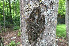 group of forest tent caterpillars