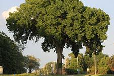 large american elm tree