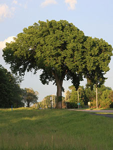 full image of an American elm