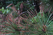 ponderosa needles and shoots have brown tips.