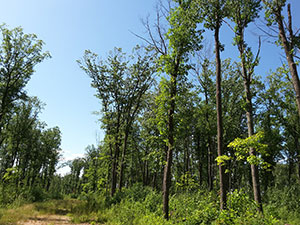 Tall Red oaks with bare canopies.