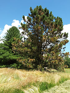 ponderosa pine in foreground has large number of brown needles vs the whtie pine in the background.