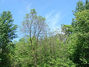 overall view showing basswood tree without leaves next to tree with leaves