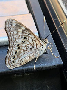 Hackberry emperor butterfly sitting with wings closed