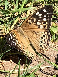 Hackberry emperor butterfly on the ground