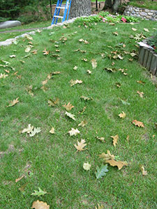 red oak leaves littering the lawn.