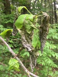 shriveled brown oak leaves
