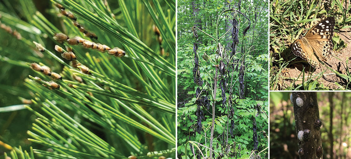 photo collage forest tent caterpillar, person cleaning boot at boot brush station, close up of pine seedling in shock, pine truck with white speaks