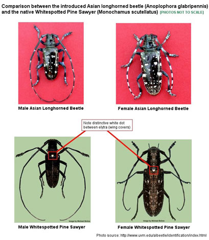 comparison between male and female Asian Longhorned beetle and Whitespotted Pine Sawyer.