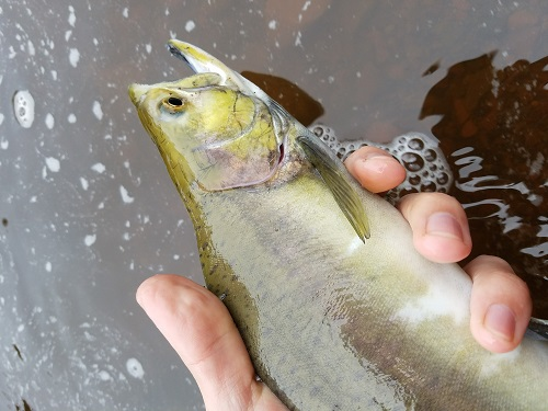 Photograph of a small pink salmon in an angler's hand.