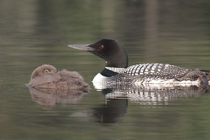 adult loon and baby