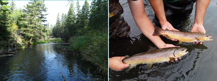 trout stream and brown trout