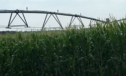 pivot irrigation system viewed from level of corn stalks