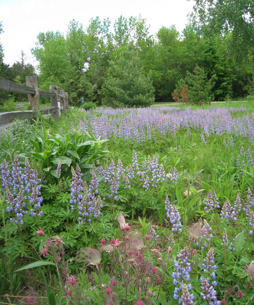lupines in bloom along a fence bordering the turf portion of a yard