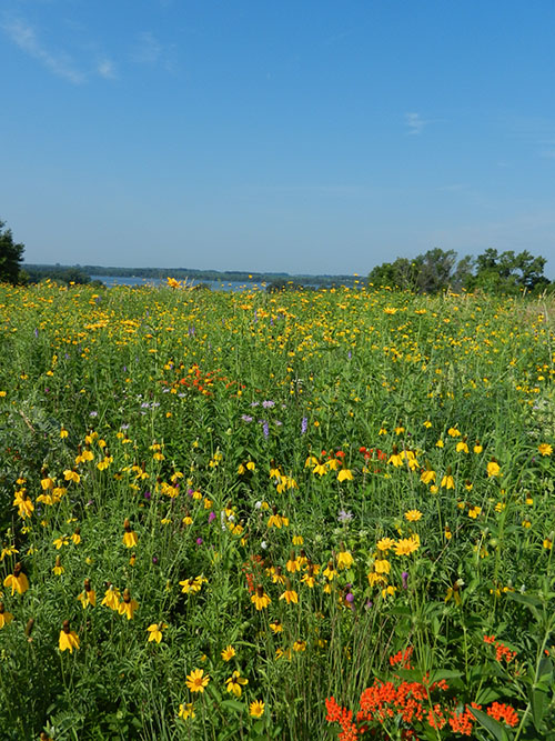 Prairie flowers bloom in a grassland that provides nesting habitat for waterfowl, pheasants and other grassland birds.