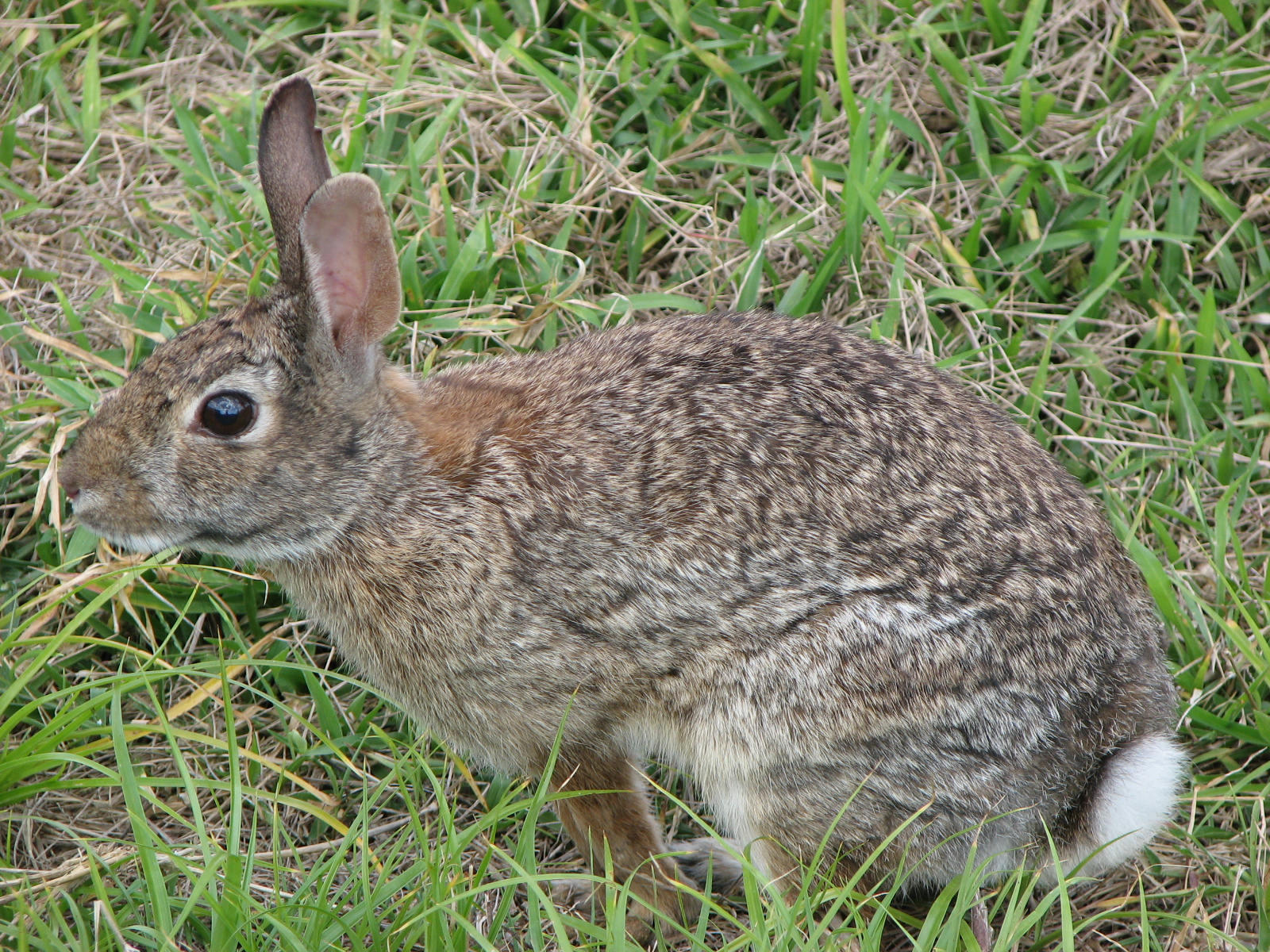 A cottontail rabbit
