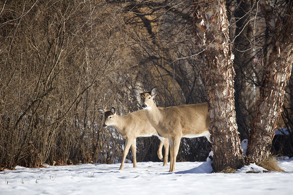 Two deer take shelter in a wooded ravine during winter