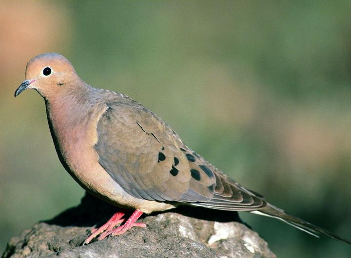 A mounring dove