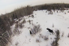 A cow and calf moose spotted during a fly over