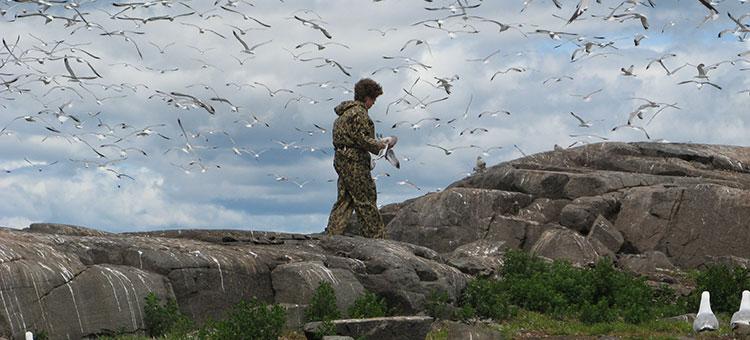 Banding birds on an island