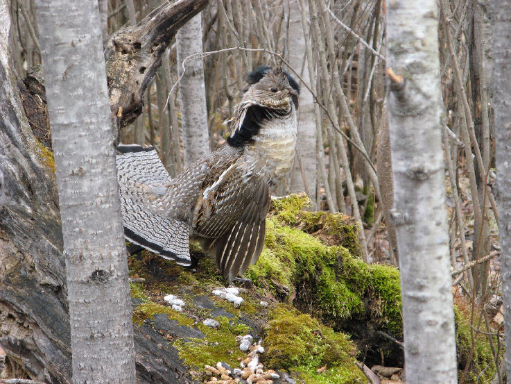 A ruffed grouse